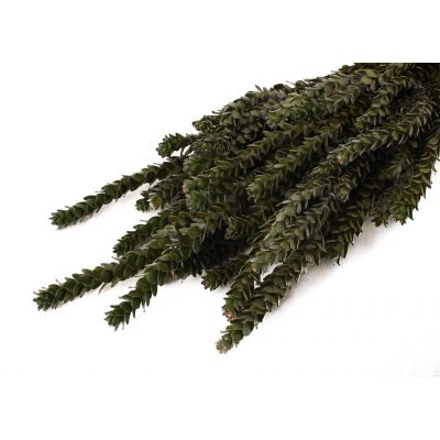 Buxfolia Young Green 45-50 cm   75g natural 118957