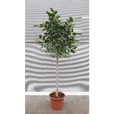 Ficus Audrey Stamm 119793