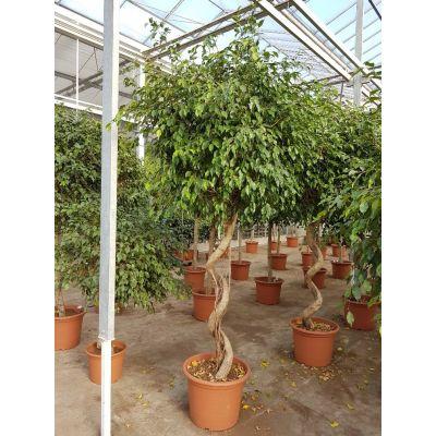Ficus benjamini Exotica 119795