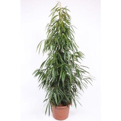 Ficus Alii  119799