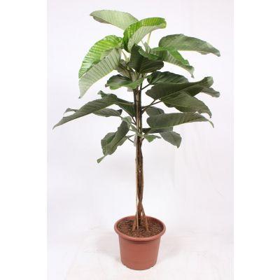 Ficus Floris  119802
