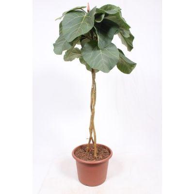 Ficus Everest  119803
