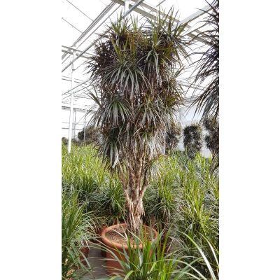 Dracaena marginata Margenta 119810