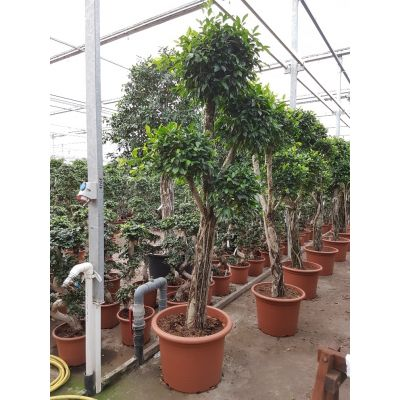 Ficus Nitida  119811