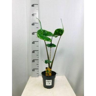 Alocasia macrorrhiza Stingray  120093