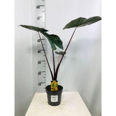 Alocasia sarawakensis Yucatan Princ  120096