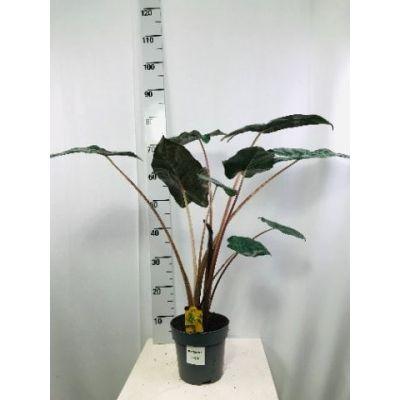 Alocasia sarawakensis Yucatan Princ  120097
