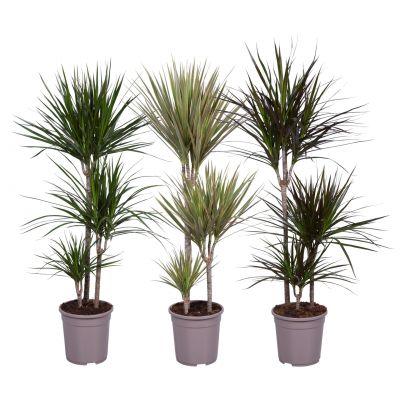 Dracaena dracaena marginata mix 60-30-15 120109