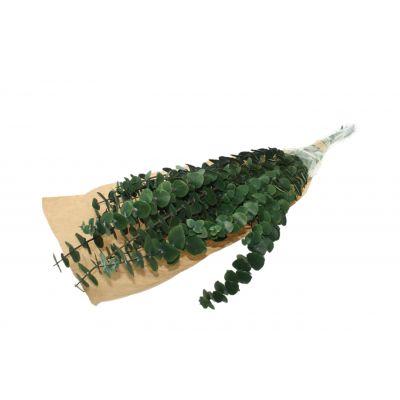 Eucalyptus baby bl präpariert grün 120733