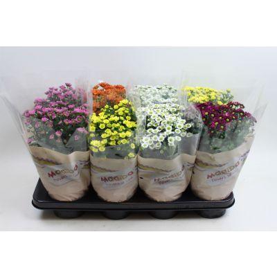 Chrysanthemum Madiba  121586