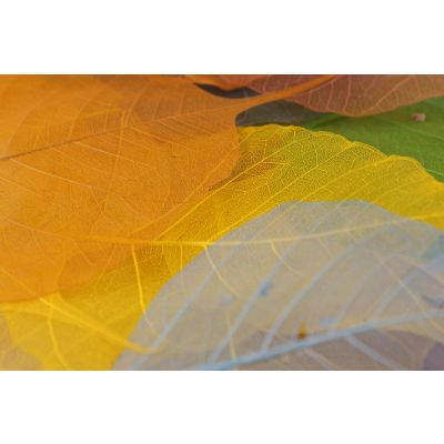 Variante Willow Blätter (200) Skelletiert farbig 033375